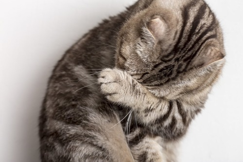 がっかりして顔を隠す猫