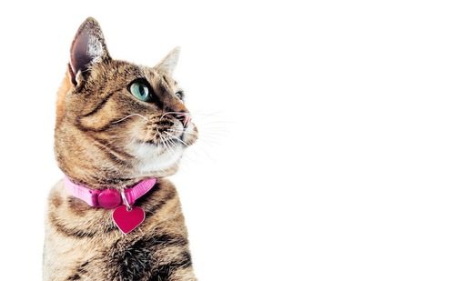 横を向くピンクの首輪をつけた猫