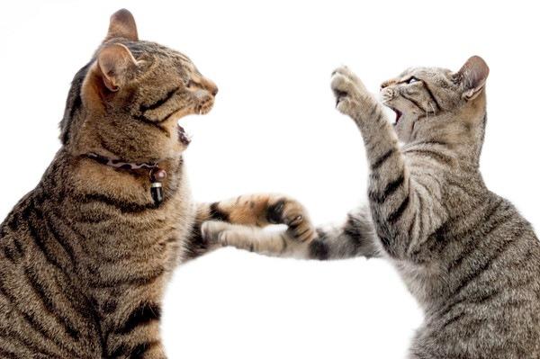 喧嘩をするキジ猫二匹