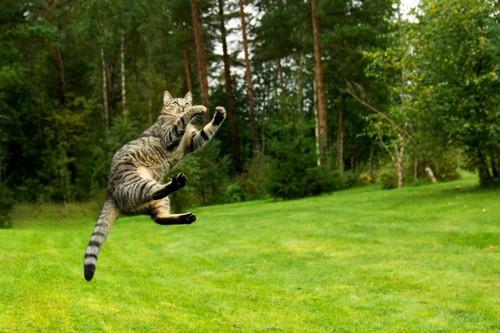 芝の上でジャンプする猫
