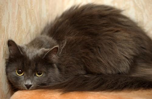 壁の前で身を伏せる灰色の猫