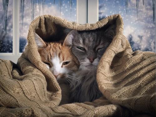 寄り添ってブランケットを被る2匹の猫