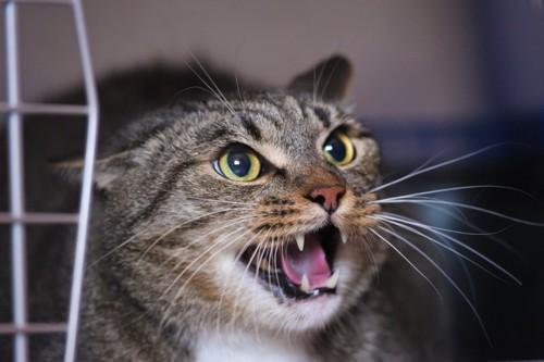 キャリーケースに入って怒る猫