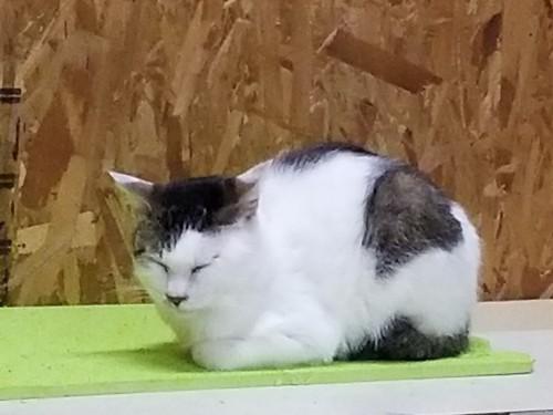 香箱座りしている猫