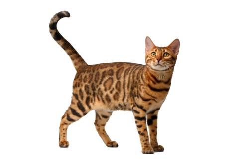 しっぽがピンとしている猫