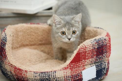 猫用ベットで遊ぶ子猫
