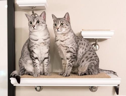 キャットウォークの1つの段に並んで座っている2匹の猫