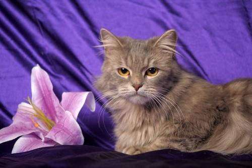 百合の花と猫