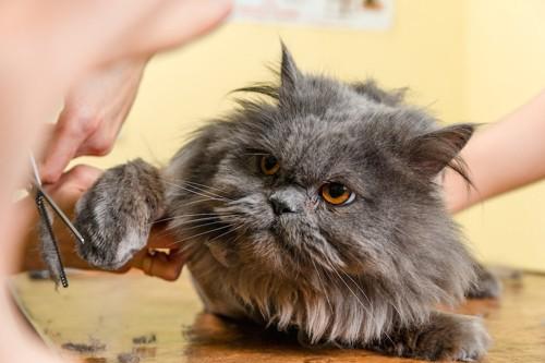 手の毛を切ってもらっている猫