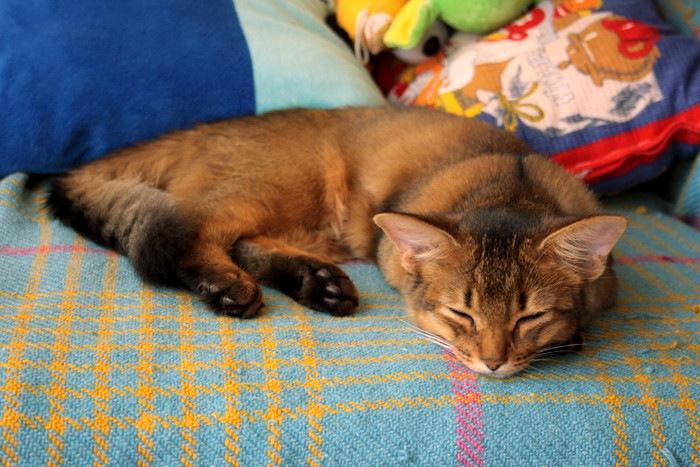 ソファーで眠っているソマリ