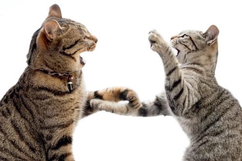 向き合って攻撃し合う2匹の猫