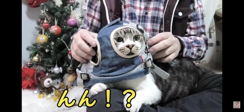 ハーネスで遊ばれる猫