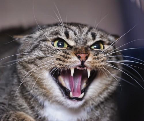 怒って牙をむく猫