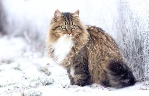雪の降る中で座る長毛猫