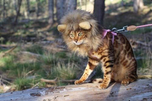 ライオンのかつらを被る猫