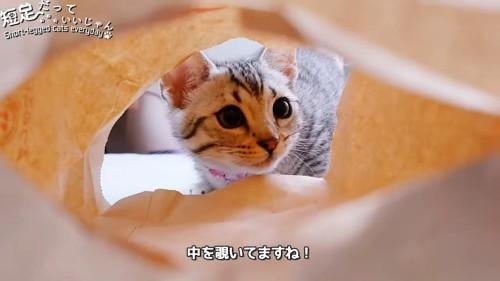 袋の中を見る子猫