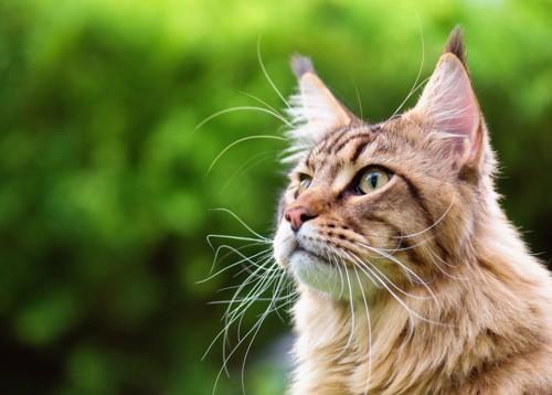 耳をそば立てる猫