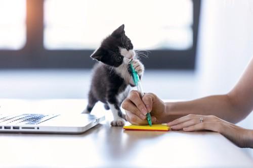 女性の作業を邪魔する子猫