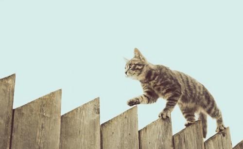 高い塀の上を歩く猫