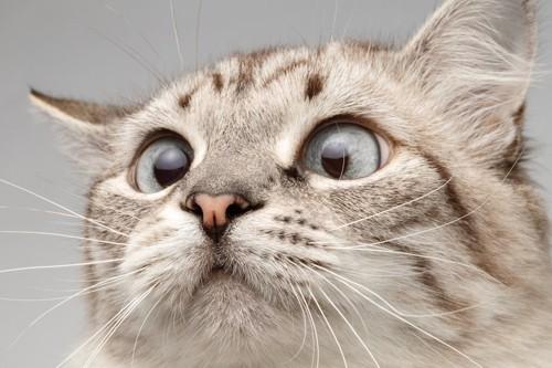 何かを真剣に見つめる猫の顔アップ