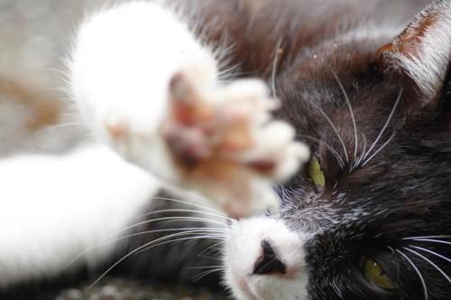 手をこちらにあげる猫