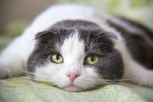 伏せてこちらを見つめる猫