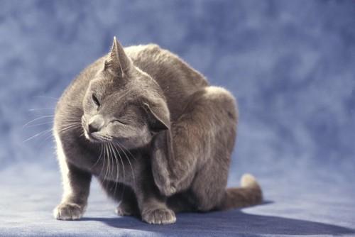 後ろ足で耳の後ろを掻いている猫