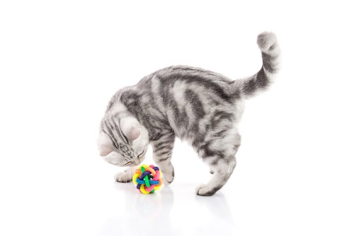 おもちゃに鼻を近づけるアメショーの子猫
