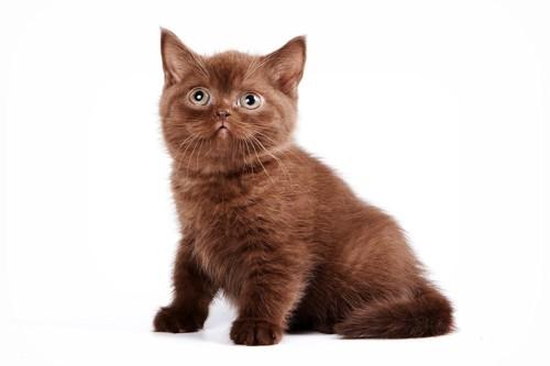 チョコレート色の子猫