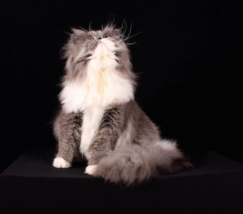 上を向いて座っているスモーク系の猫