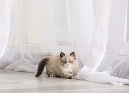 カーテンの前にいる猫
