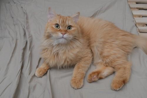 布団の上にいる猫