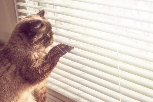 ブラインドに手を突っ込んで外を見ようとする猫