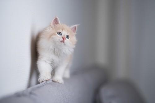 ソファの上を歩く猫