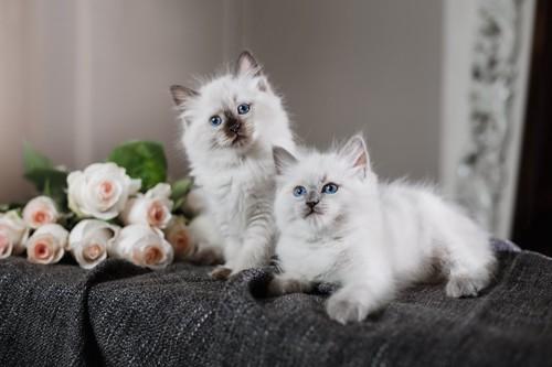 花と綺麗な瞳の二匹のバーマンの子猫