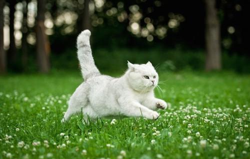 草むらを走る白い猫