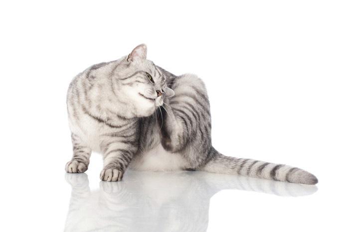 耳をかく猫