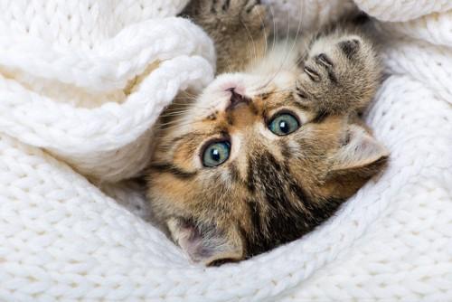 毛糸セーターの中にいる子猫