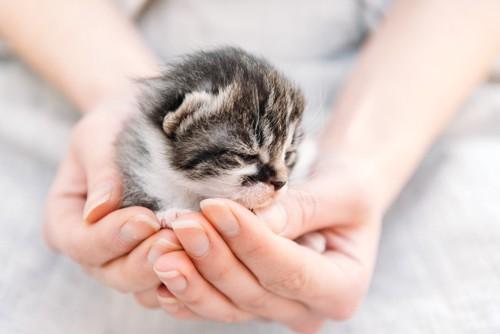 手のひらに乗る子猫