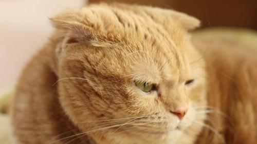 顔を背ける茶トラ猫