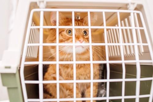 キャリーバッグに入れられている猫