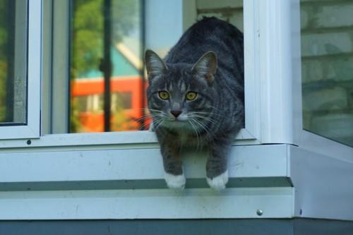 開いた窓から体を乗り出す猫