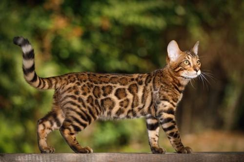 何かを見つめるベンガル猫