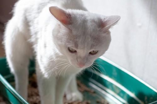 トイレでしんどそうな猫