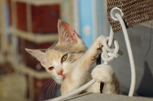 ロープにじゃれる子猫