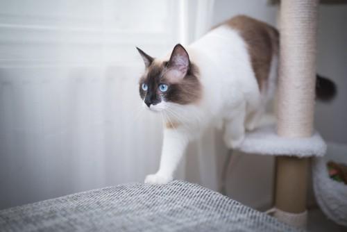 キャットタワーを歩く猫