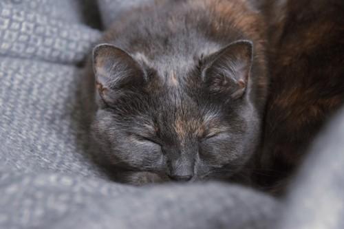 セーターで寝る猫