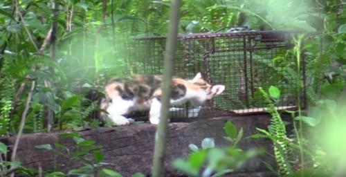 捕獲器の外にいる子猫