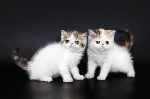 愛くるしい二匹のペルシャの子猫