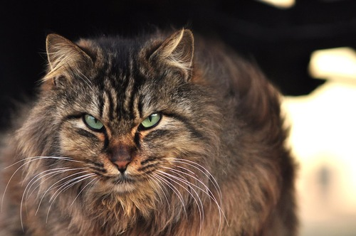 力強い表情の長毛猫